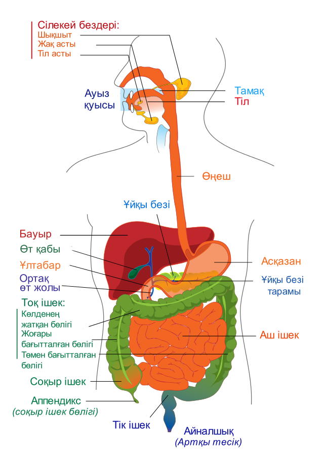 File:Digestive system diagram kk.png - Wikimedia Commons
