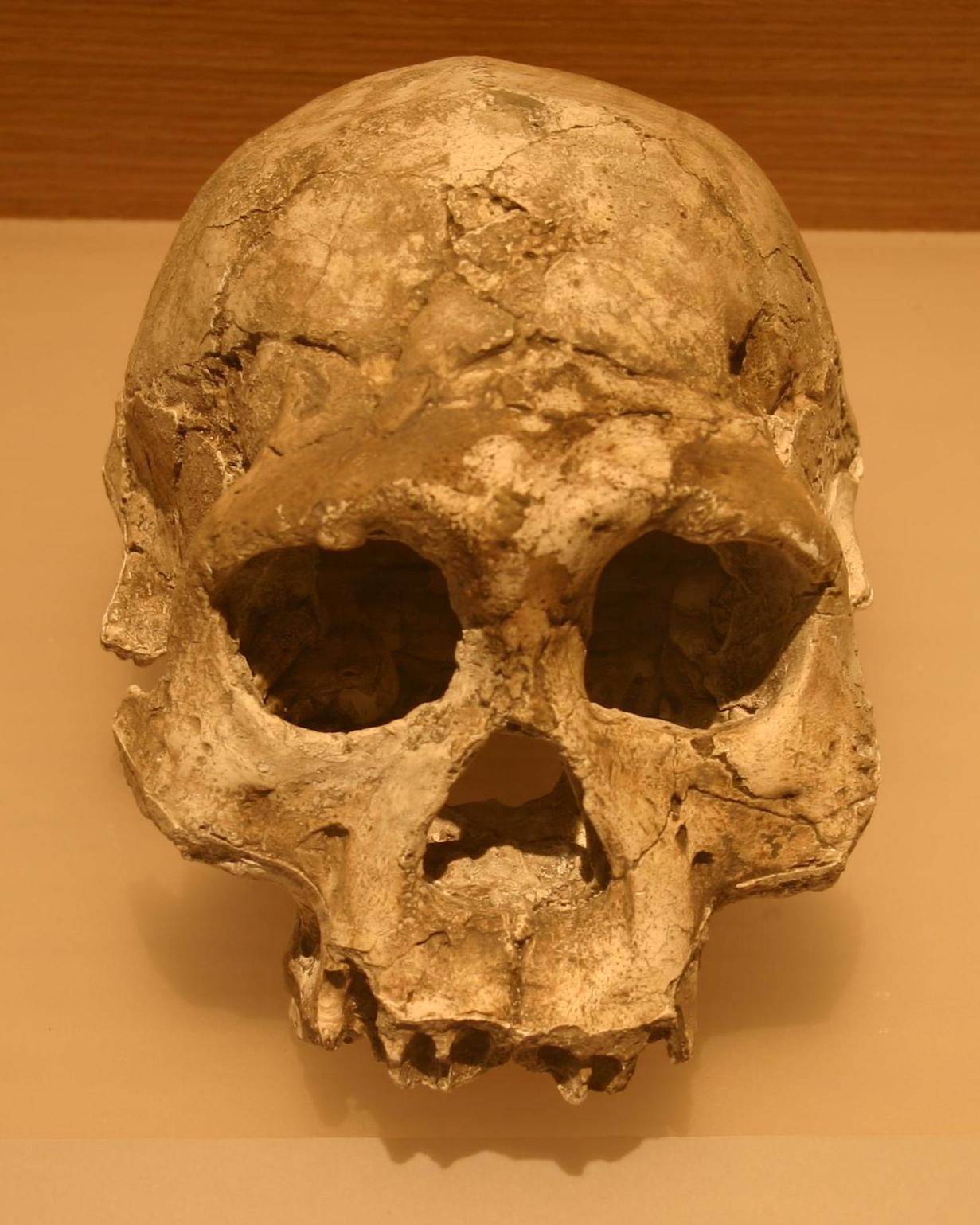 dmanisi dating Based on paleomagnetismand 40ar/39ar dating, the hominin remains at dmanisi are in dmanisi unfortunately, no human the human fossil record, part 9.