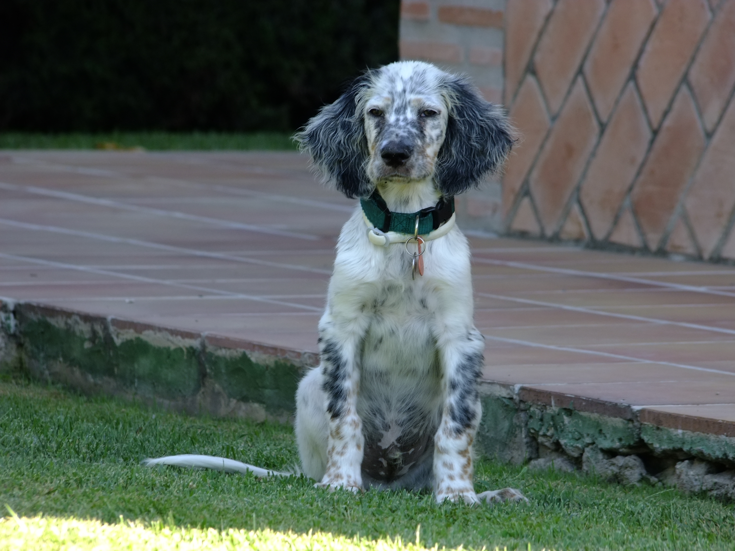 File:English Setter Spain.jpg - Wikimedia Commons