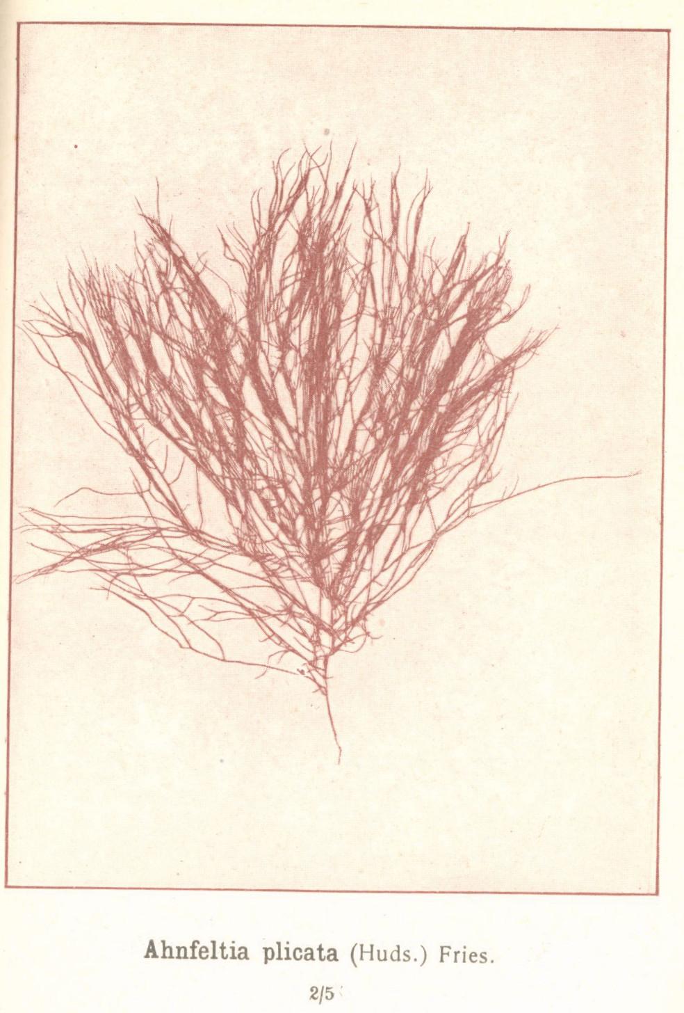 File fmib 53624 rhodophycees ou floridees algues rouges for Algues rouges piscine