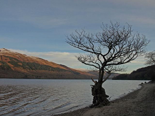 File:Gnarled Tree, Loch Lomond - geograph.org.uk - 1066863.jpg