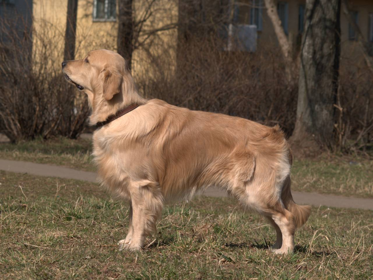 Golden Retriever - Simple English Wikipedia, the free