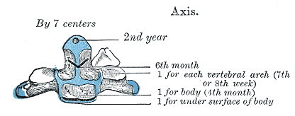 The axis is ossified from five primary and two secondary centers.