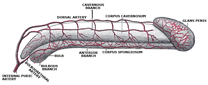 Diagram of the arteries of the penis.