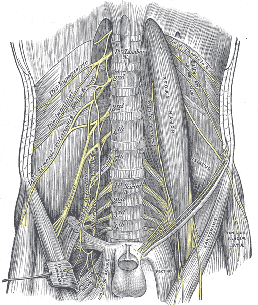 femoral nerve - wikipedia, Muscles