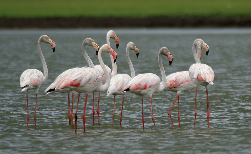 http://upload.wikimedia.org/wikipedia/commons/7/7c/Greater_Flamingoes_%28Phoenicopterus_roseus%29_W2_IMG_0072.jpg