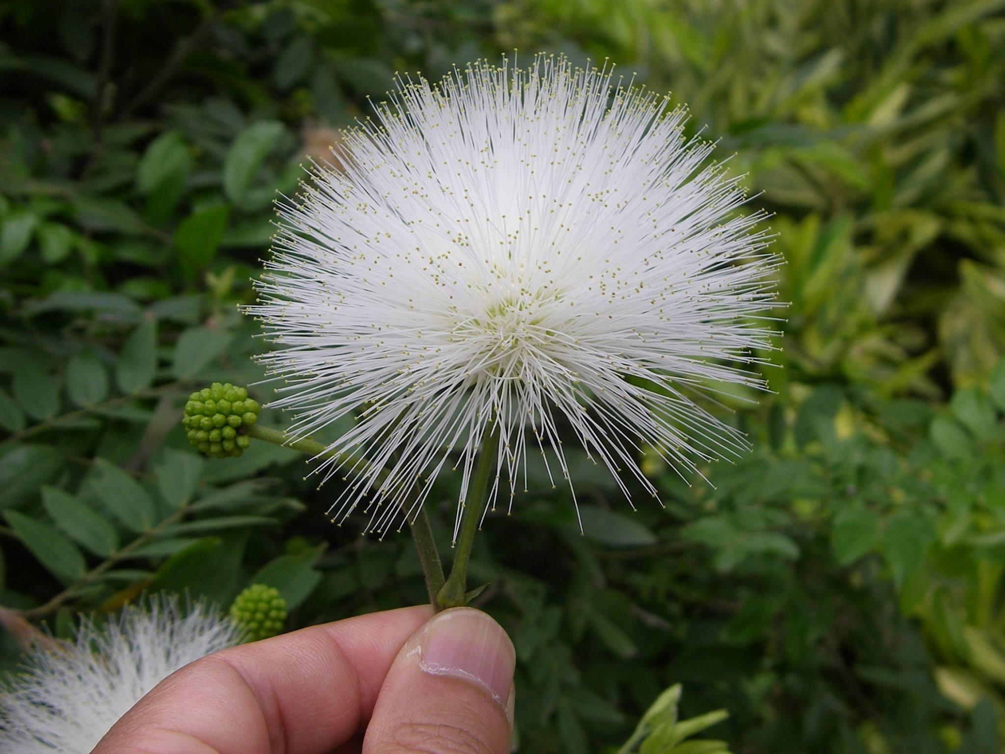 Filehk Calliandra Haematocephala Plant Flower
