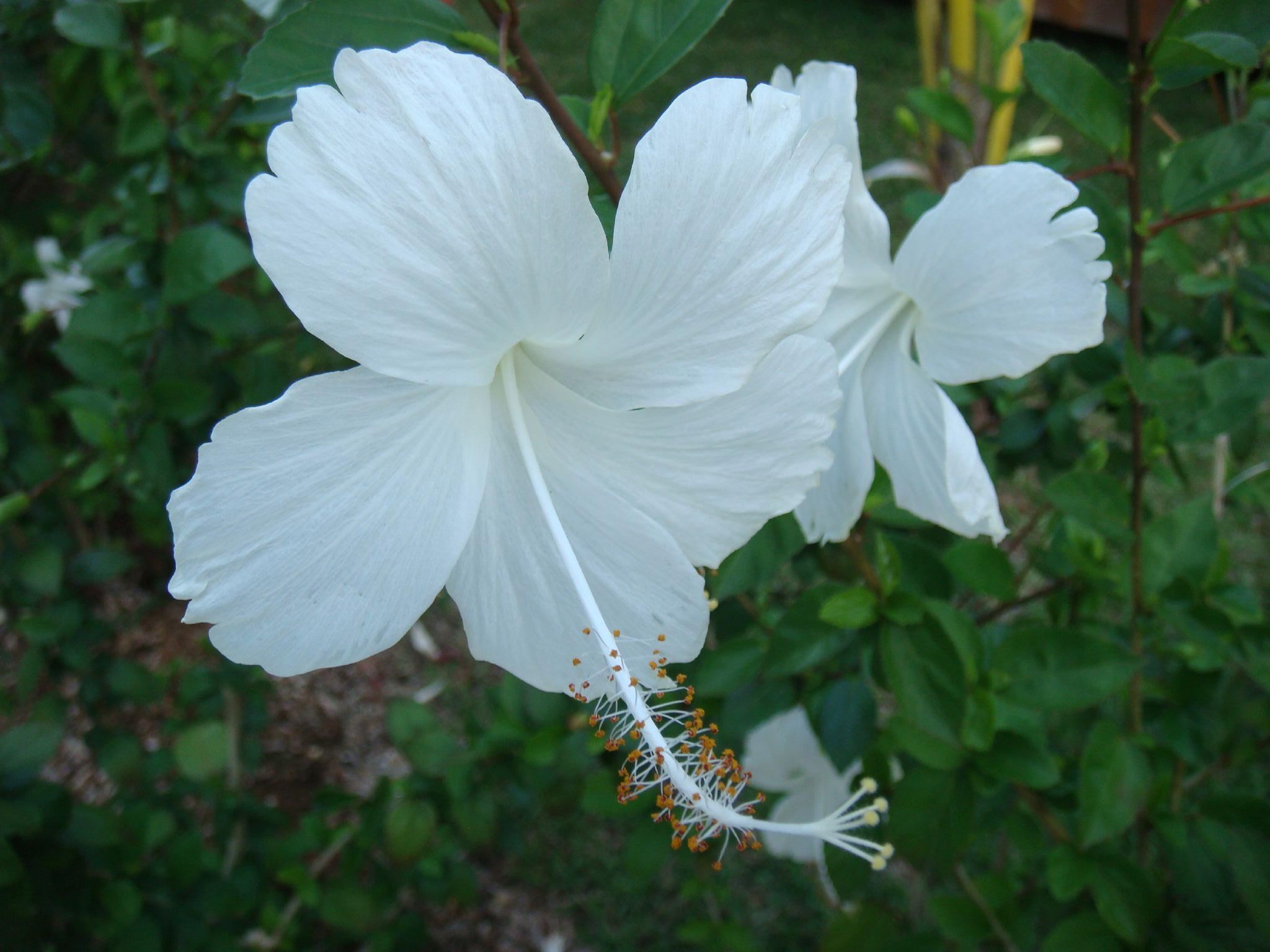 Description Hibiscus D...