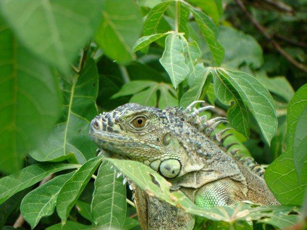 File:Iguana, Mazunte.jpg