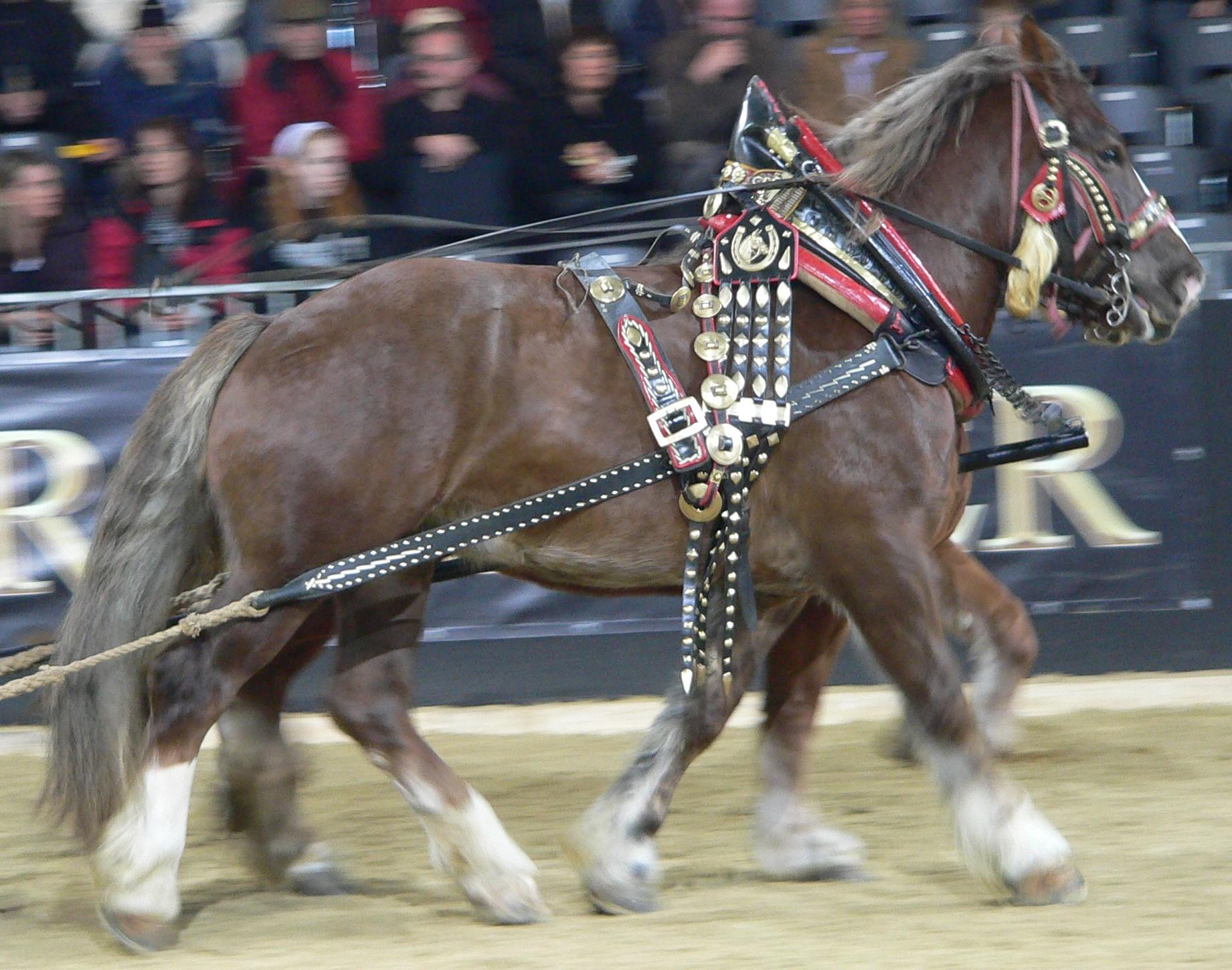Heavy Horses 4  Italian Draft Horse