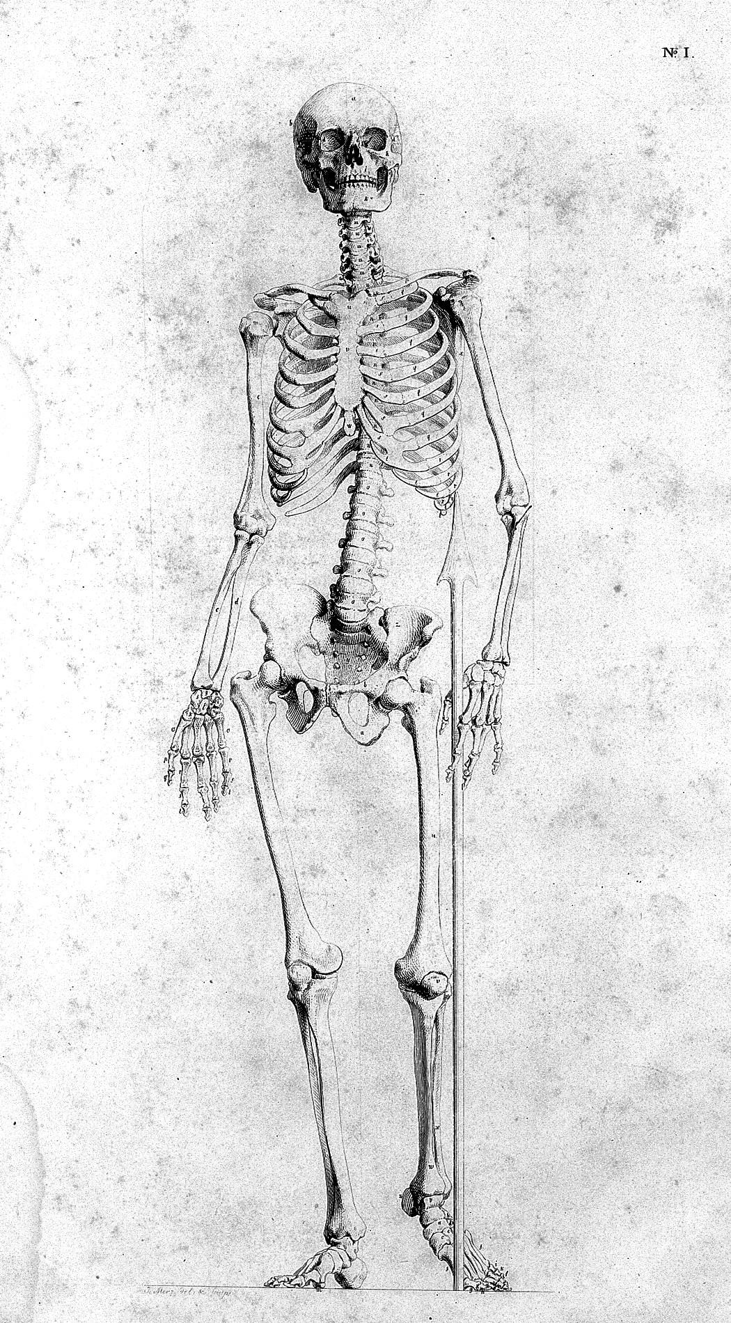 file j m fischer darstellung 1806 skeleton wellcome rh commons wikimedia org Skeletal Foot Diagram Arm Skeleton Diagram