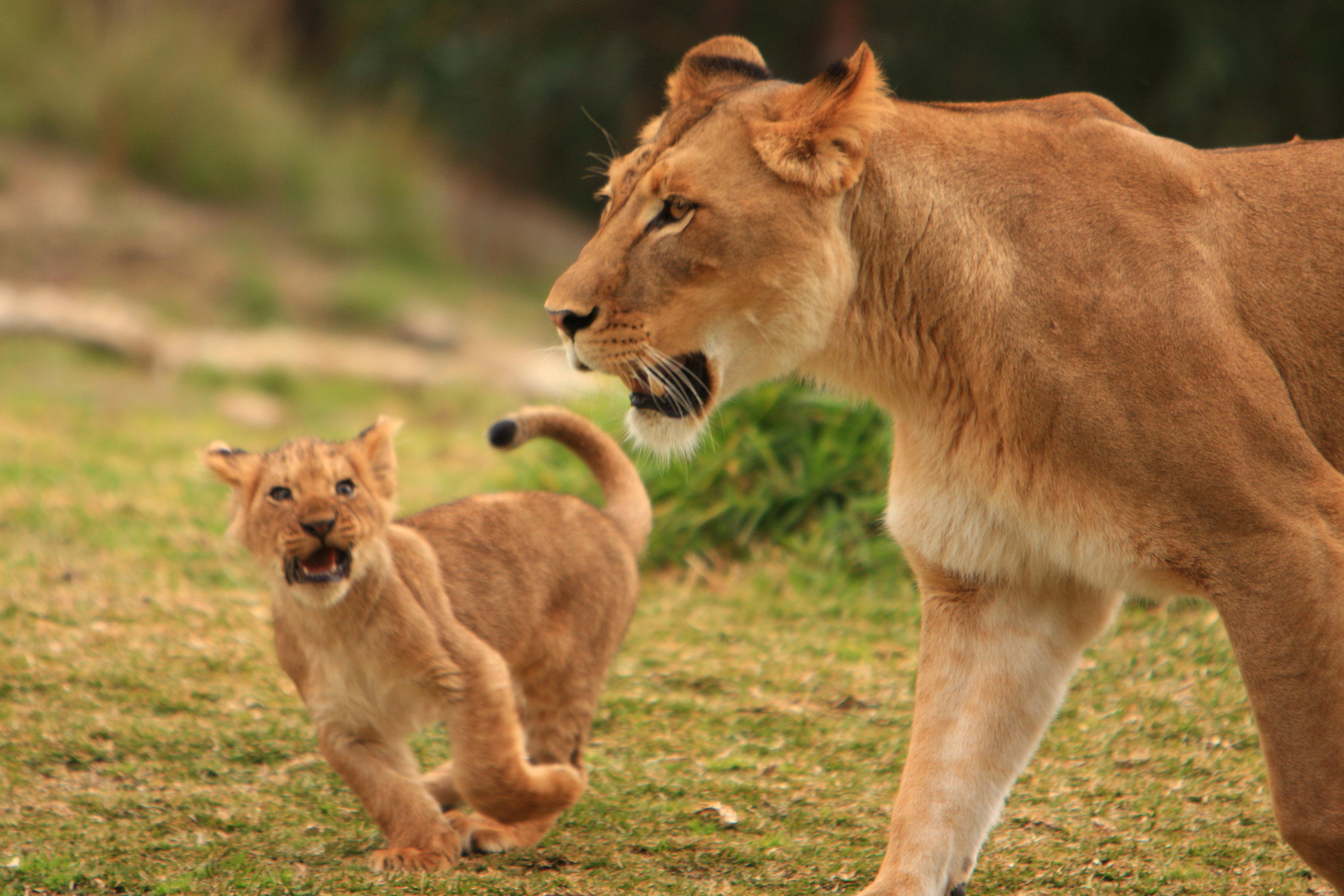 File:Lions & Lion ...