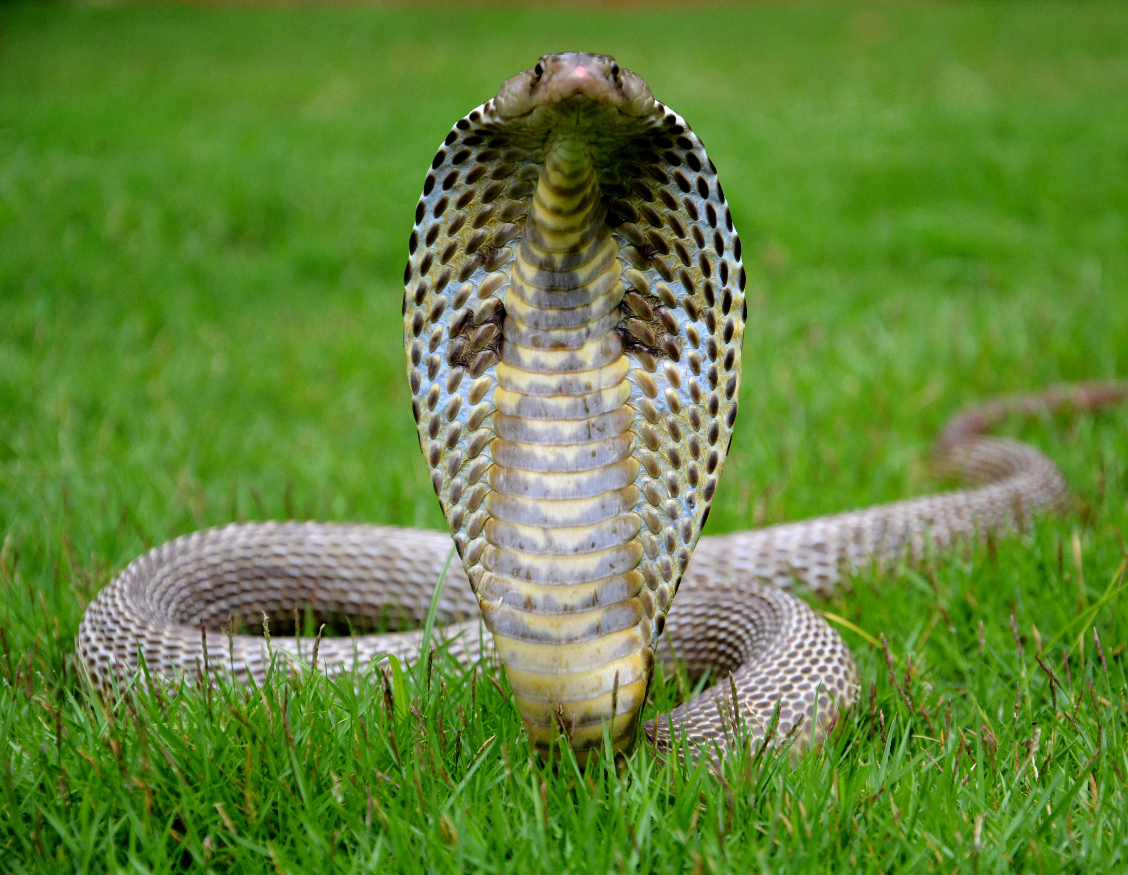 помощью как выглядит королевская кобра фото массово
