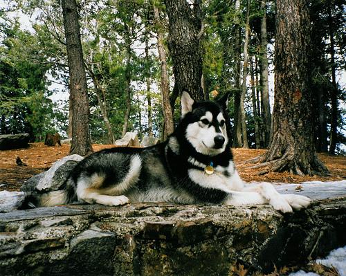 """Фото 26468  """" Аляскинский маламут  """" Большие собаки."""