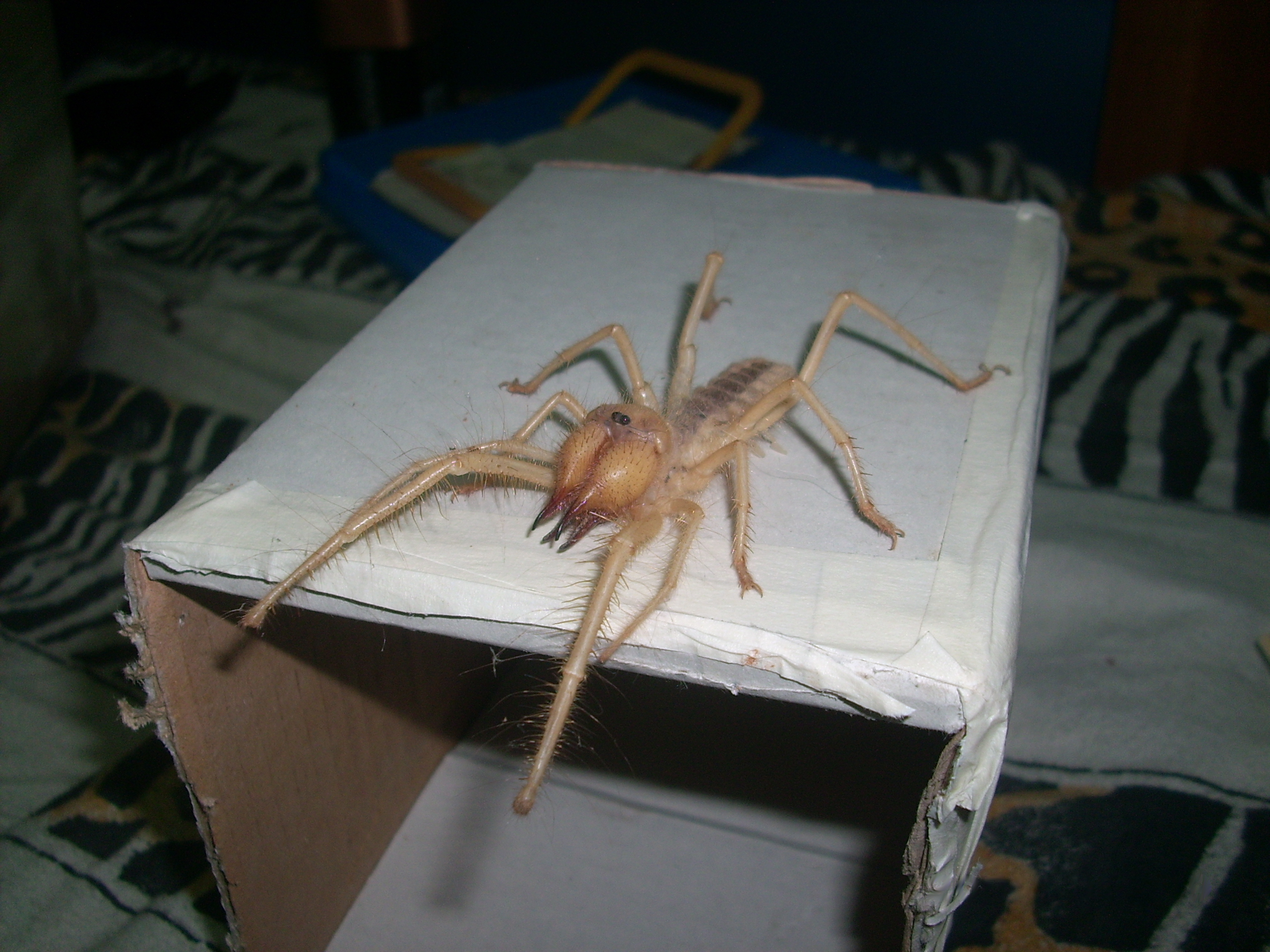 Giant Camel Spider Size