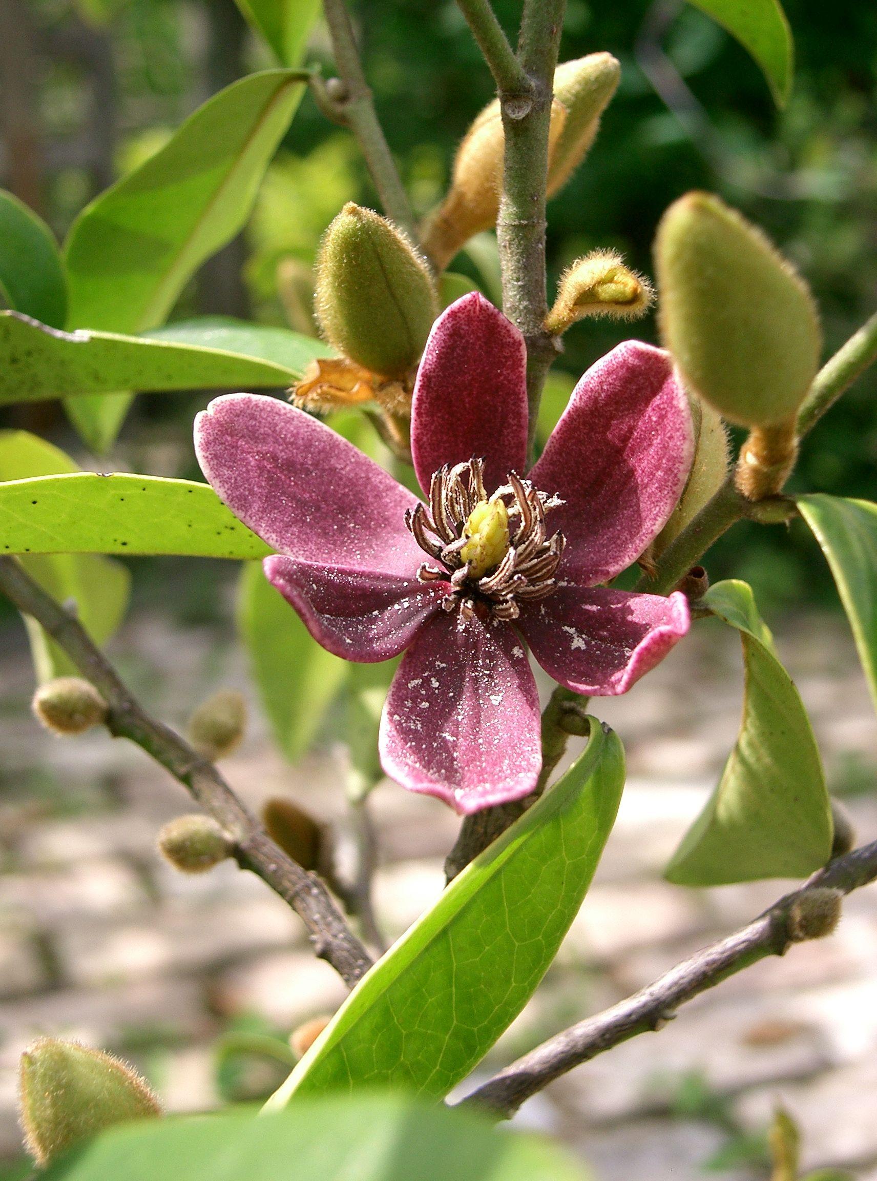 michelia figo purple queen1.jpg