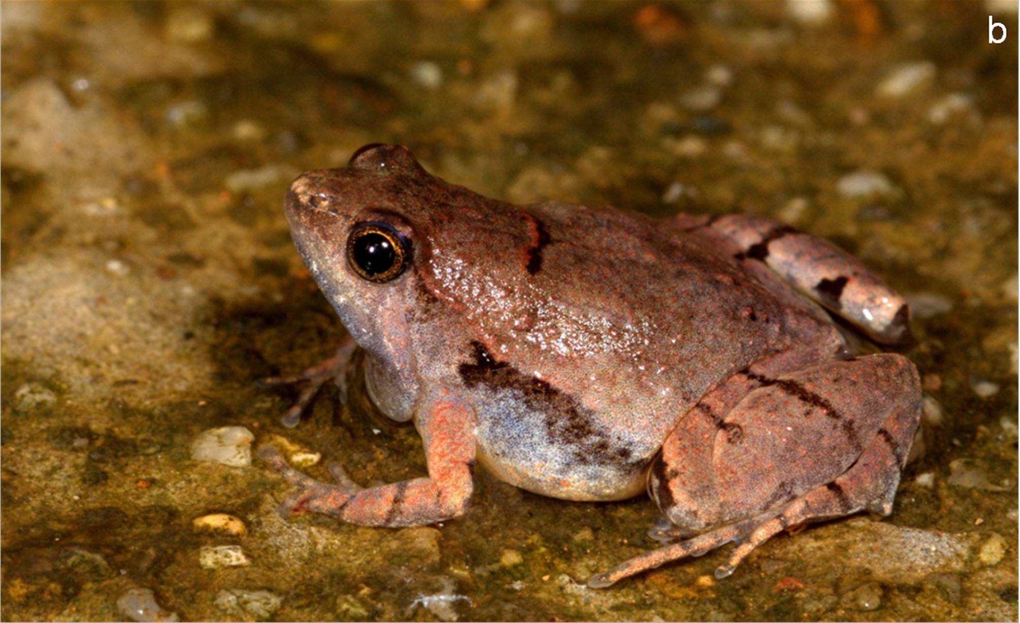 Microhyla laterite adult male