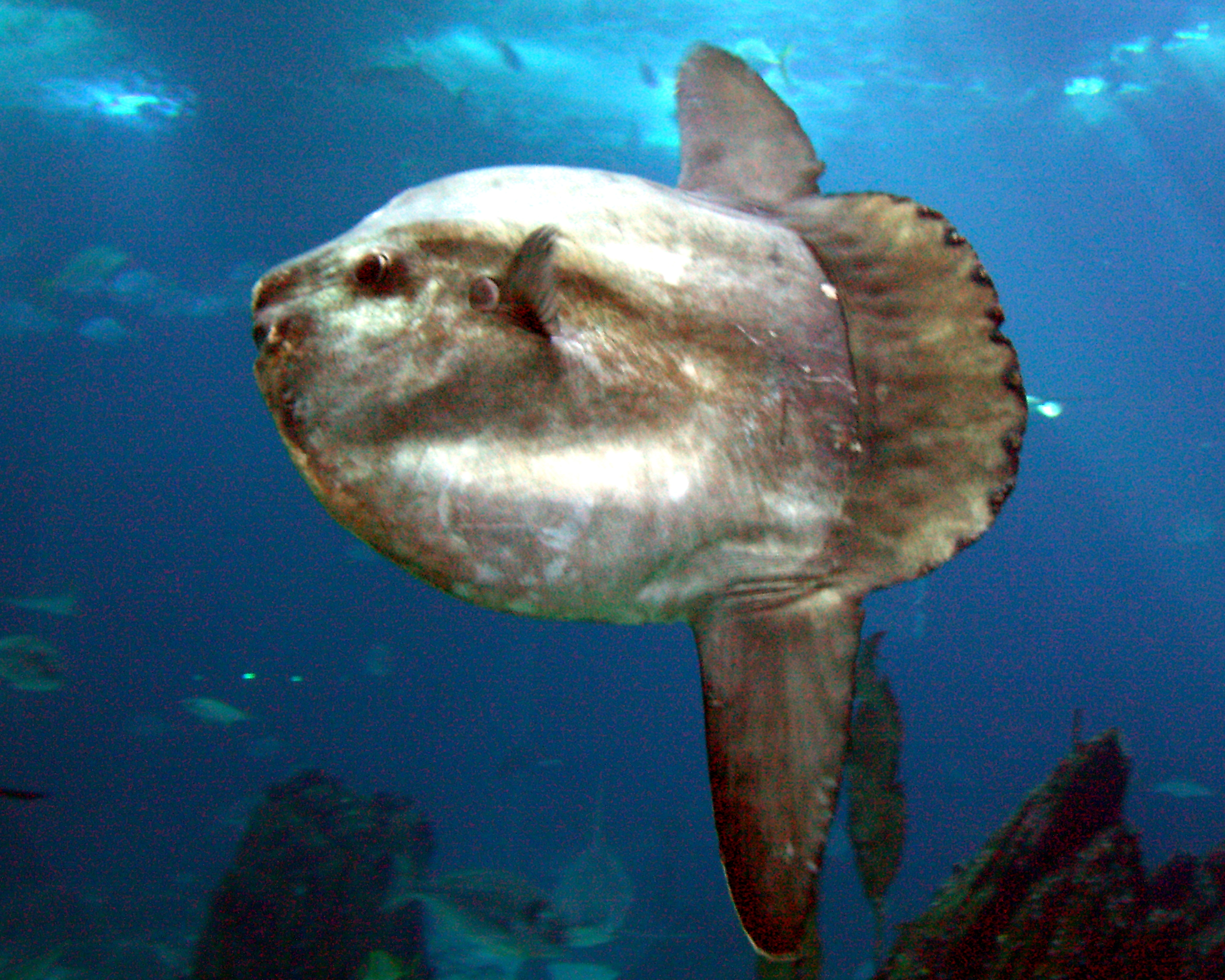 Mola fish wikiwand for Mola mola fish