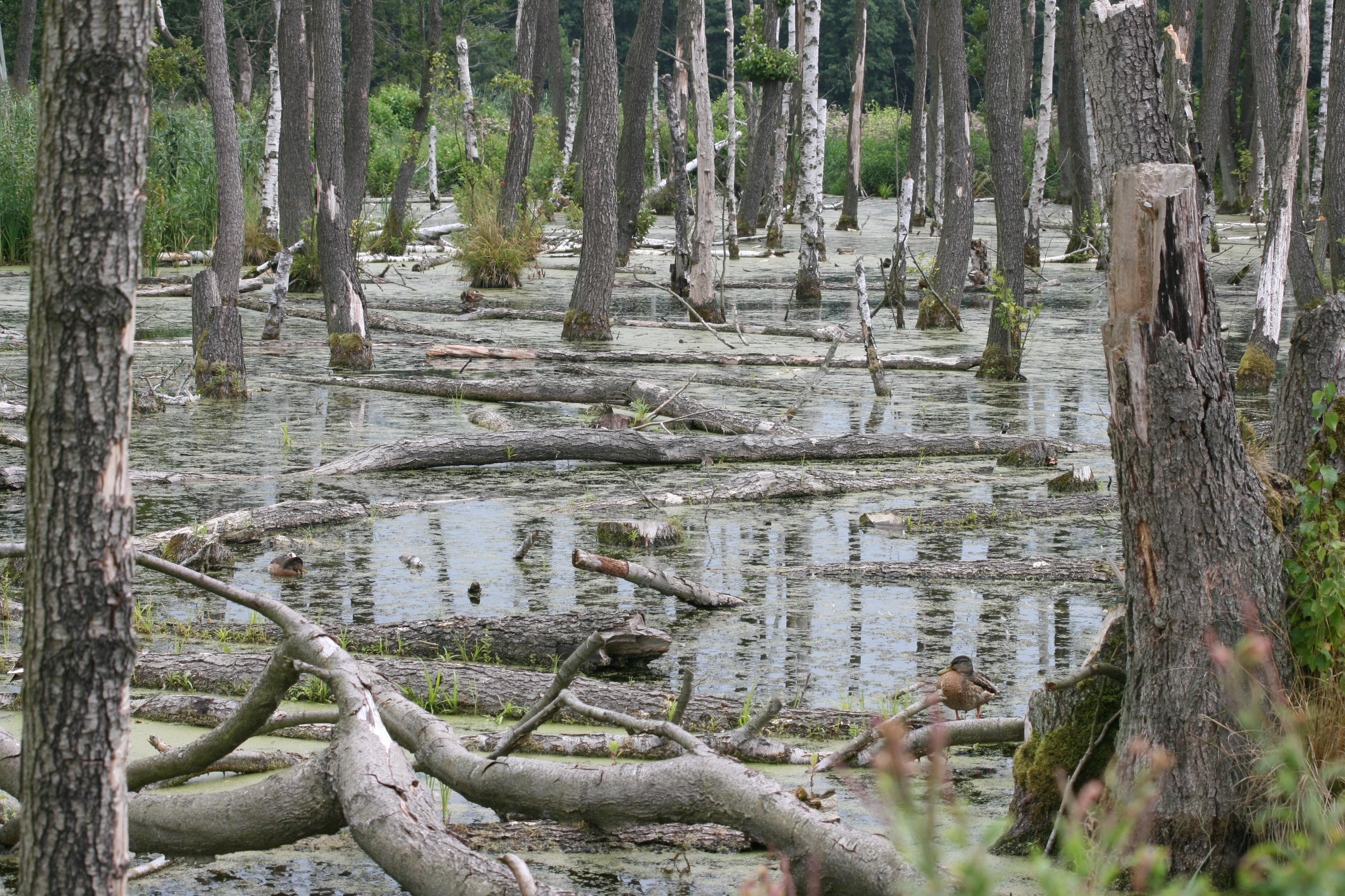 Müritz-Sumpf im Wald - Quelle: Wikimedia