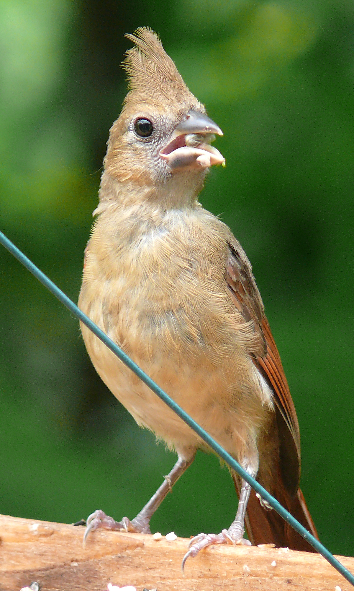 File Northern Cardinal Fledgling 27527 Jpg Wikimedia Commons
