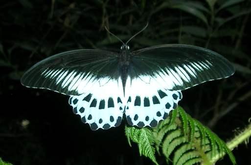 File:Papilio polymnestor.jpg