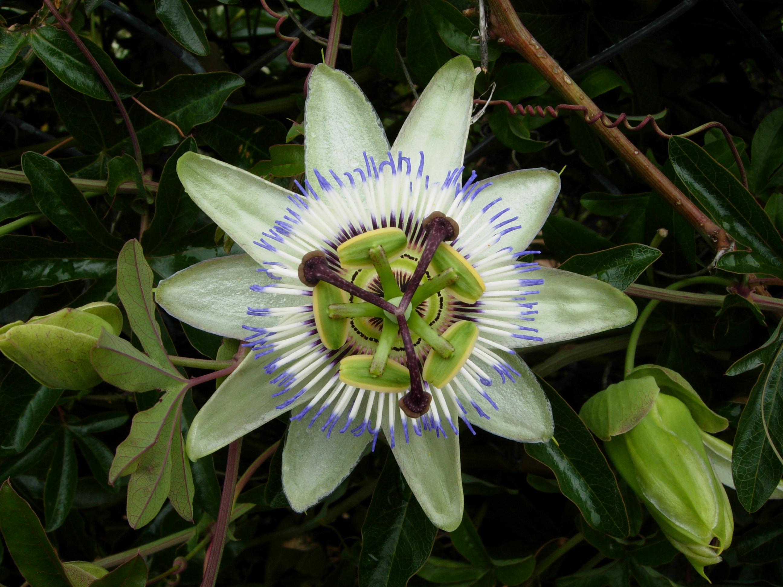 Passiflora_caerulea_flower,_2007.jpg (2592×1944)