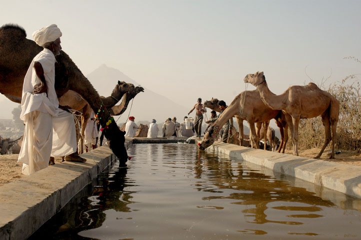 Camels at a watering point at Pushkar Camel Fair