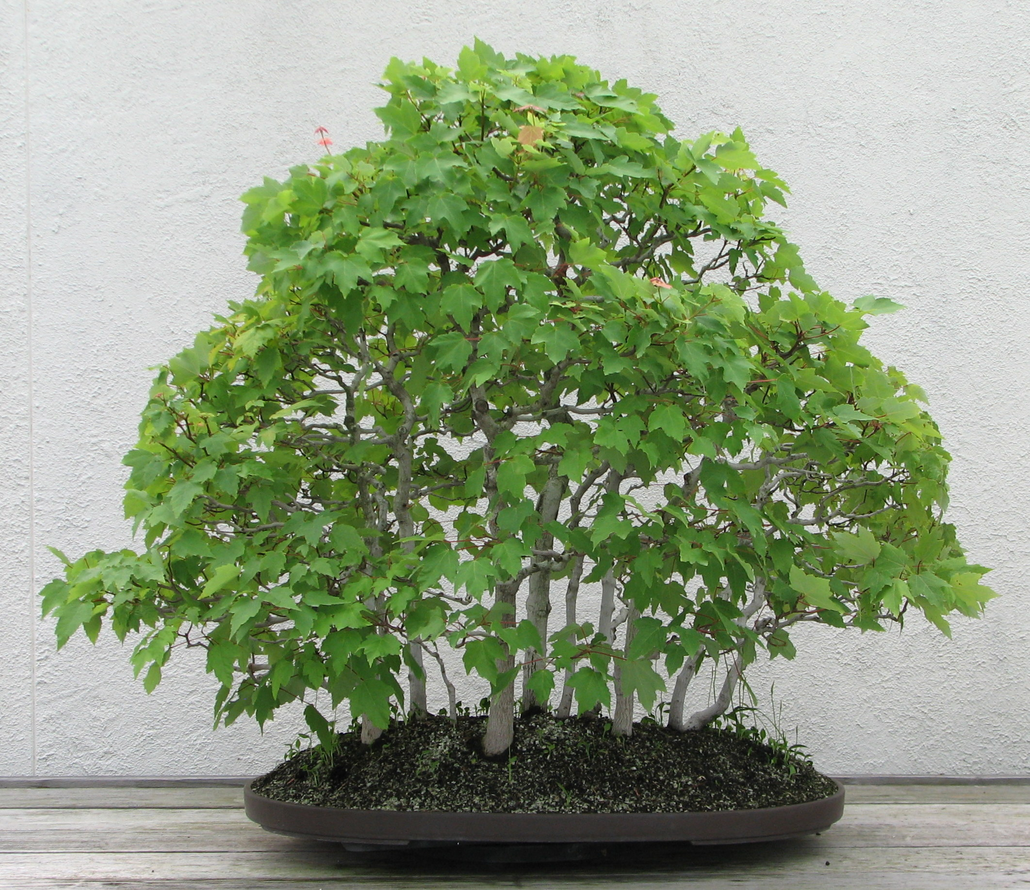 Bonsai Gakusei Red Maple Acer Rubrum