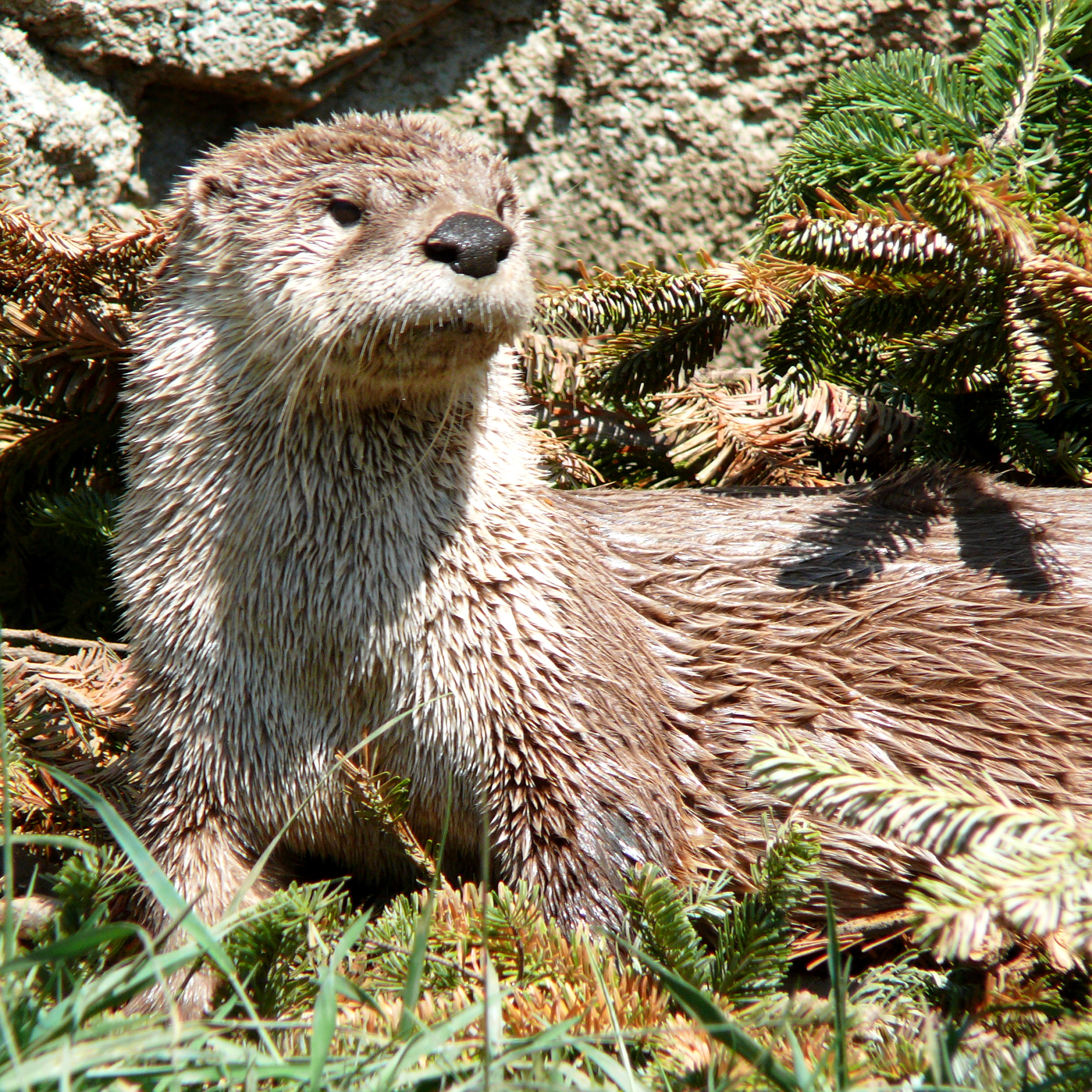 Description river otter 27527