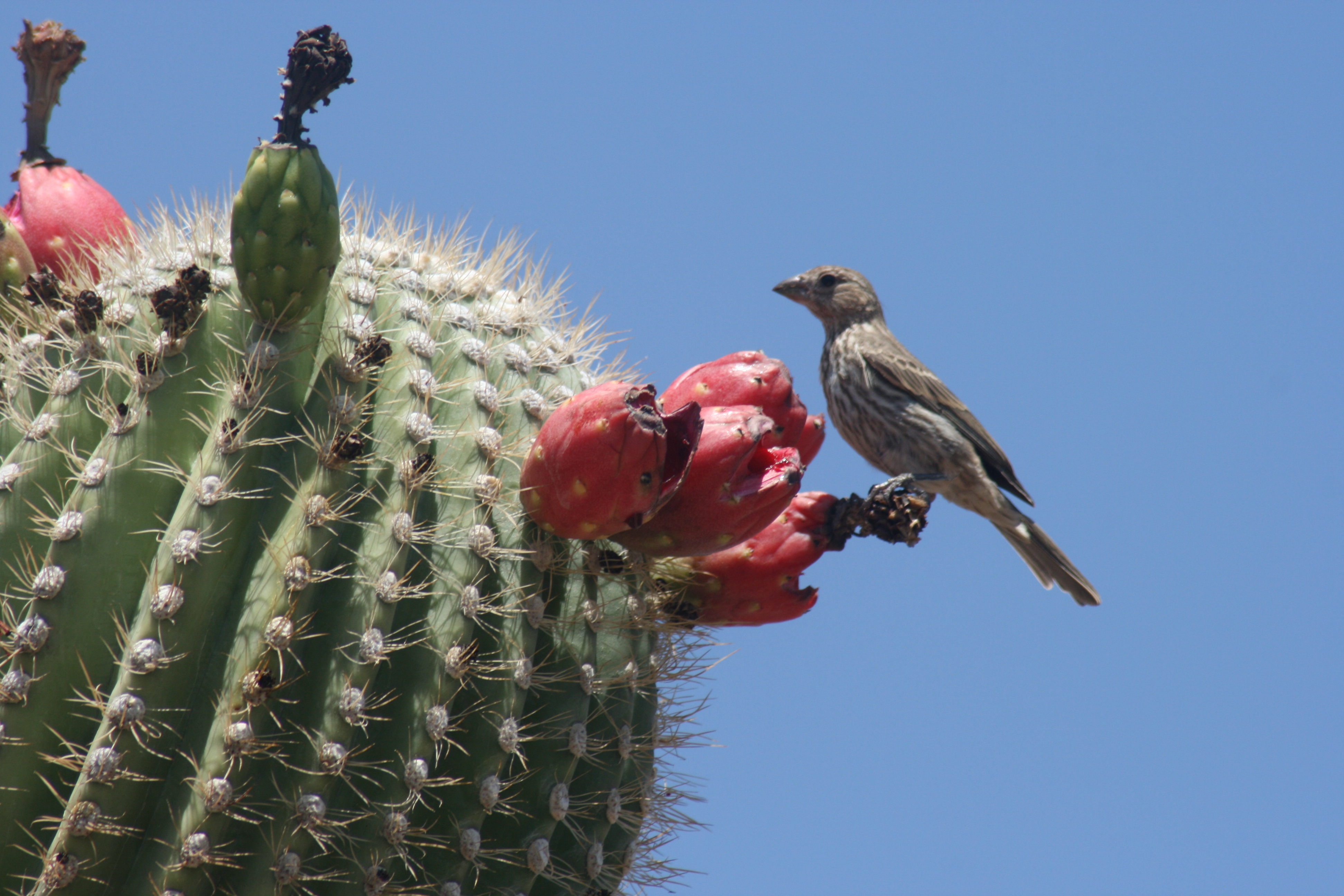 Image Result For Free Saguaro Cactus
