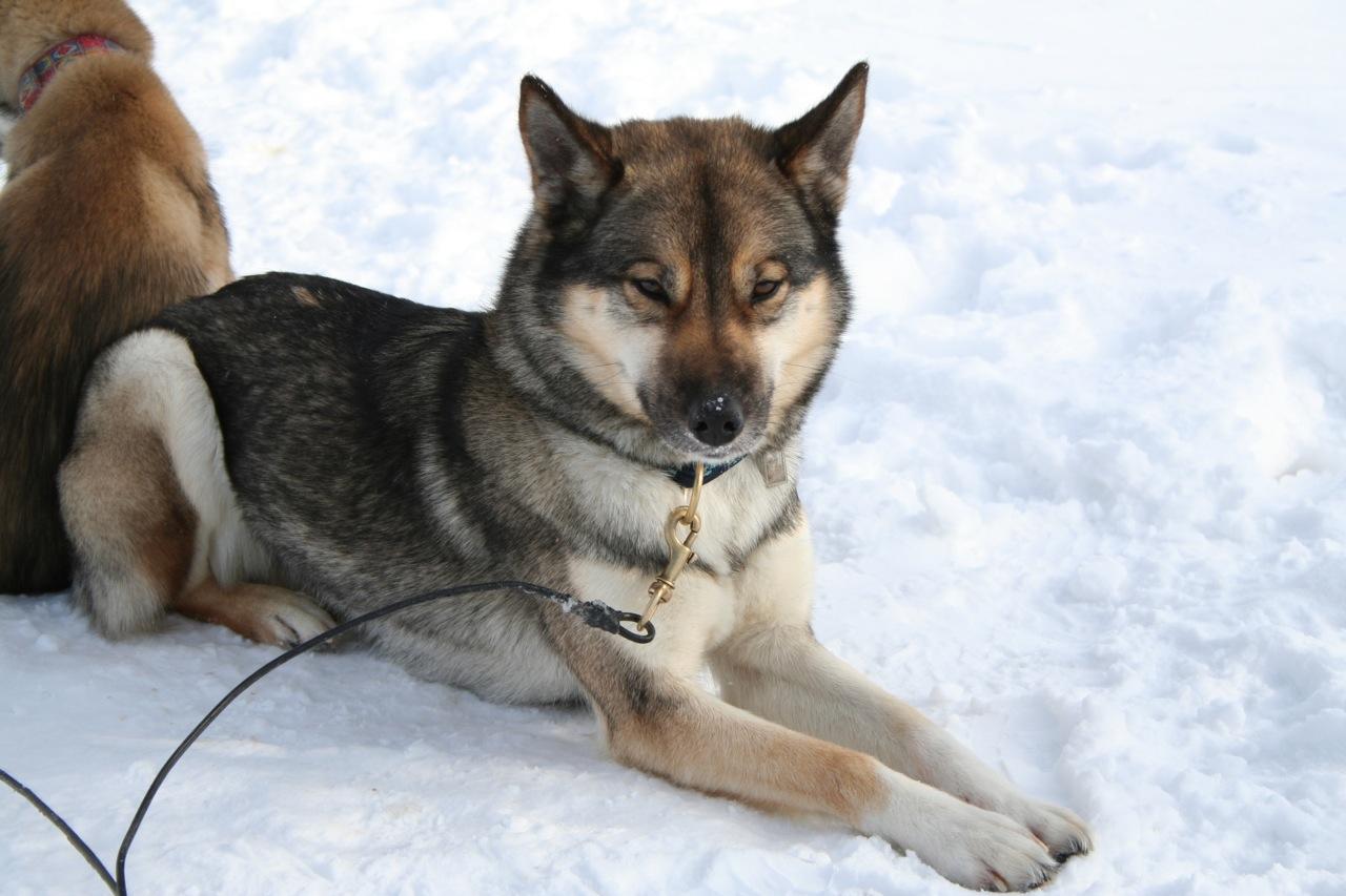 File:Siberian Husky agouti.jpg - Wikipedia