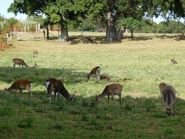Sika deer at Arne Nature Reserve - geograph.org.uk - 1769362
