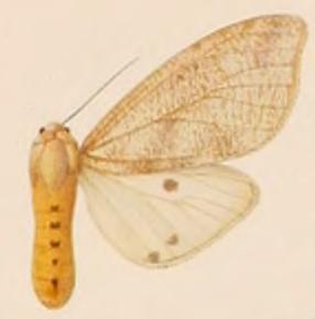 <i>Spilosoma batesi</i> Species of moth