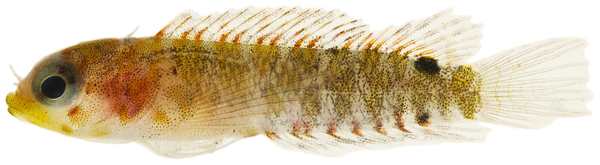 Starksia atlantica - pone.0010676.g149.png © Williams, J. T.; Carpenter, K. E.; Van Tassell, J. L.; Hoetjes, P.; Toller, W.; Etnoyer, P.; Smith, M.