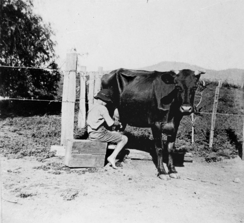 Description StateLibQld 1 139584 Boy milking a cow, 1910-1920.jpg