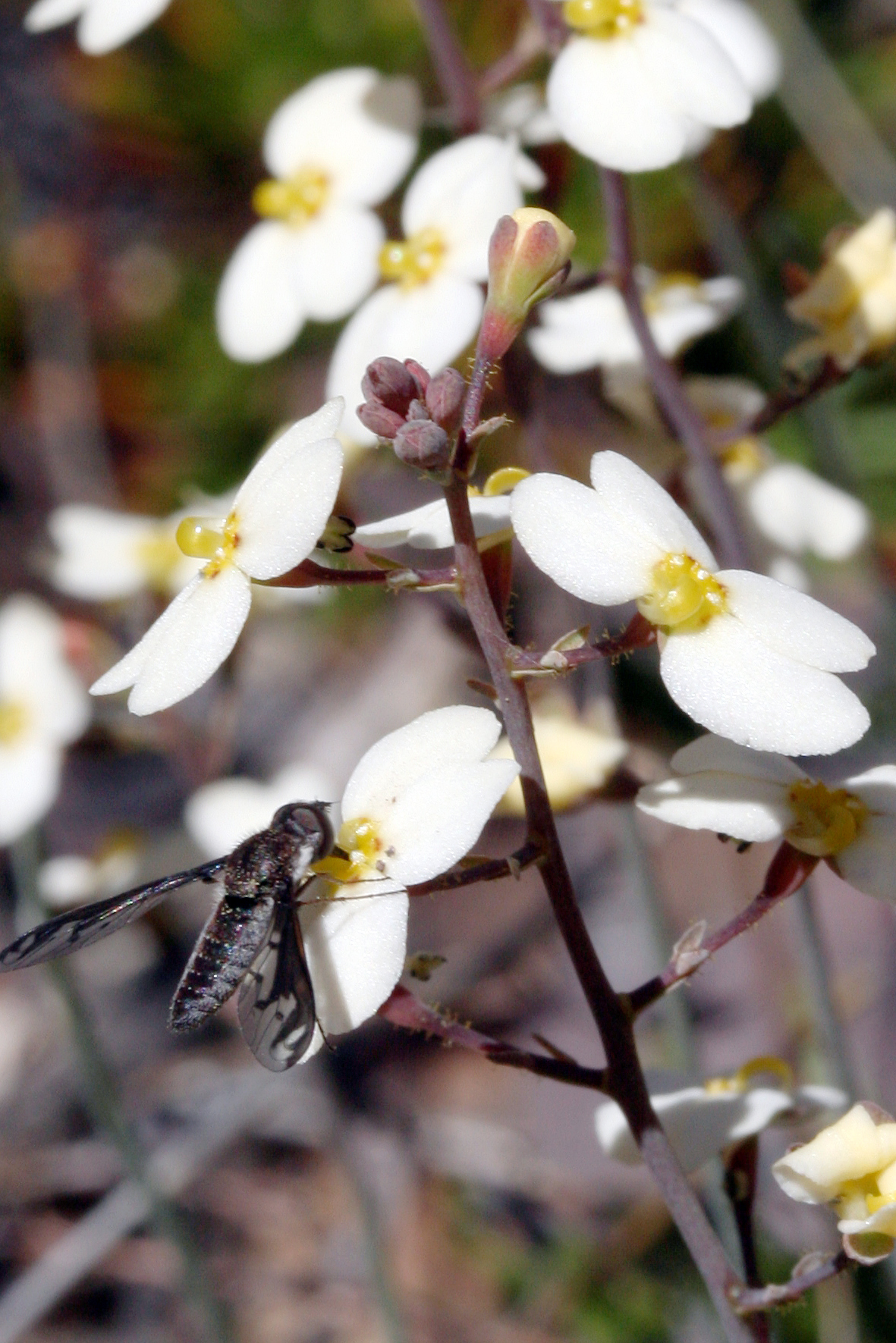Stylidium hortiorum with pollinator/robber.