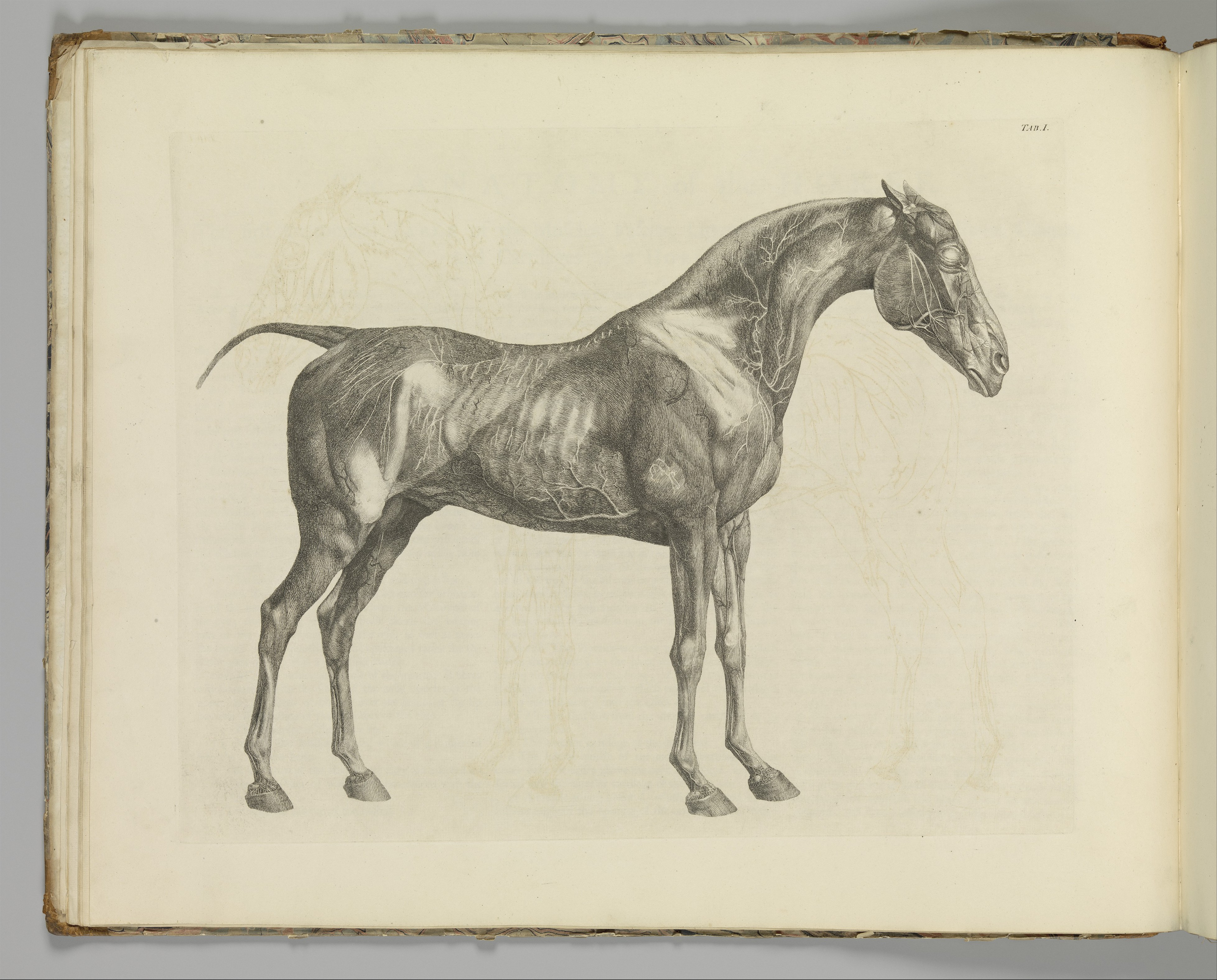 File:The Anatomy of the Horse, including a particular description of ...