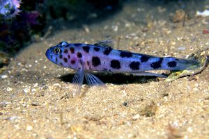 Leopard-spotted goby species of fish