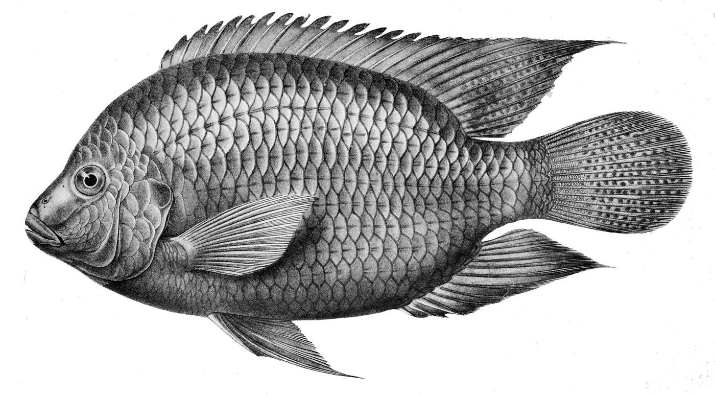 File tilapia cabrae wikimedia commons for Tilapia aquarium