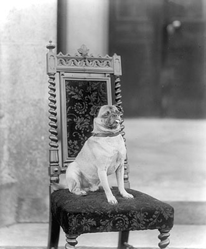what pugs looked like before intense selective breeding  c  1880    interestingasfuck