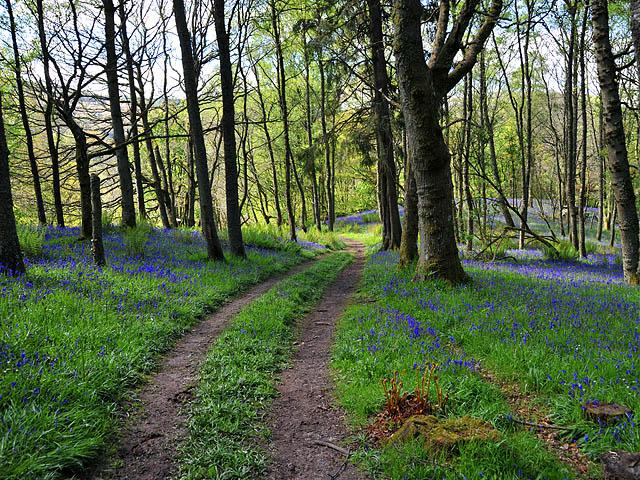 Track through Trowan Wood - geograph.org.uk - 1304460