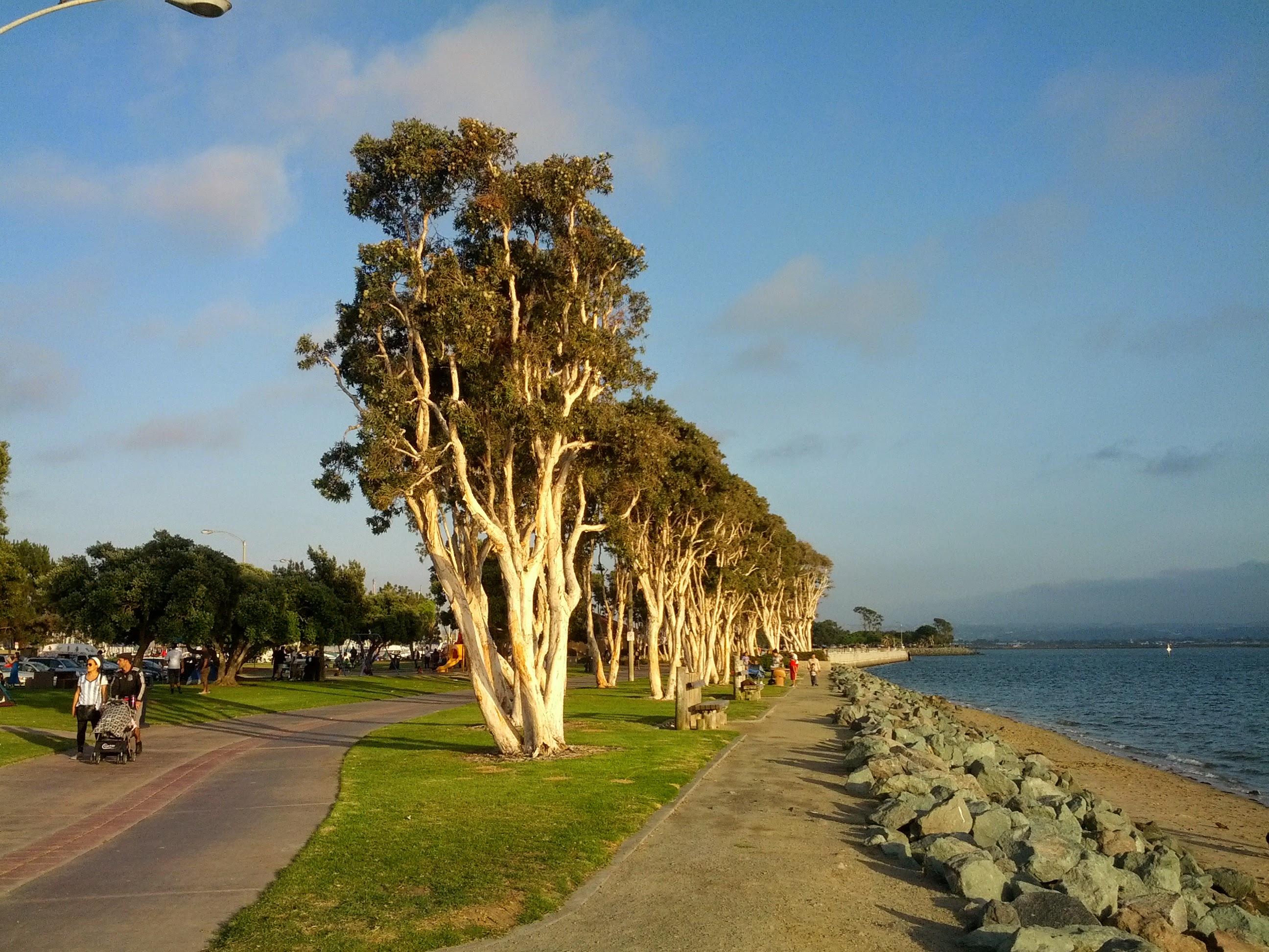 FileTrees in Chula Vista Bayfront Parkjpg Wikimedia Commons