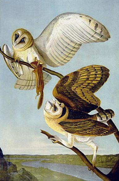 Tyto alba (Audubon)