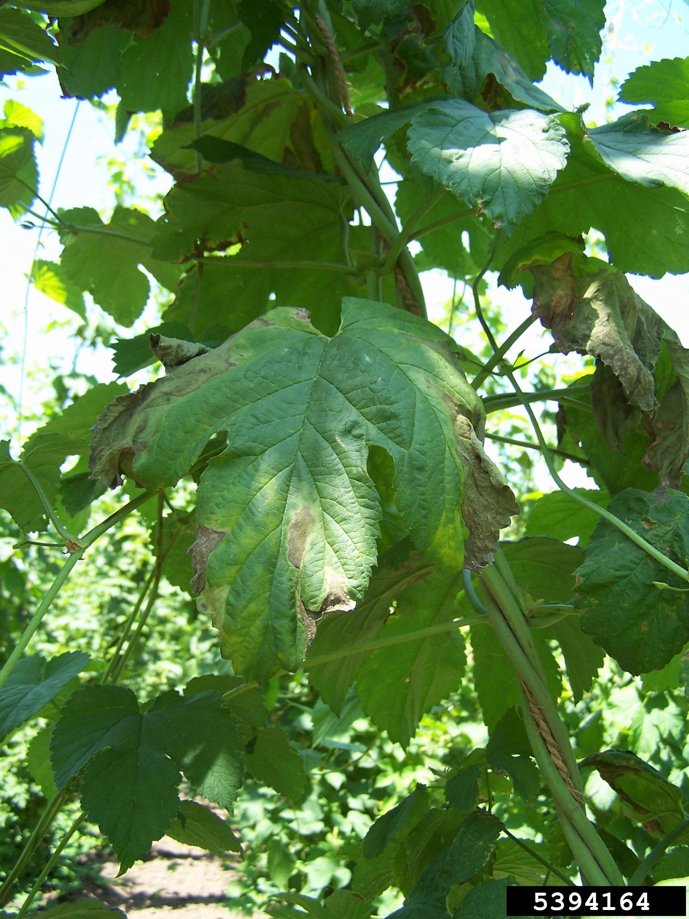 File:Verticillium wilt on hops.jpg