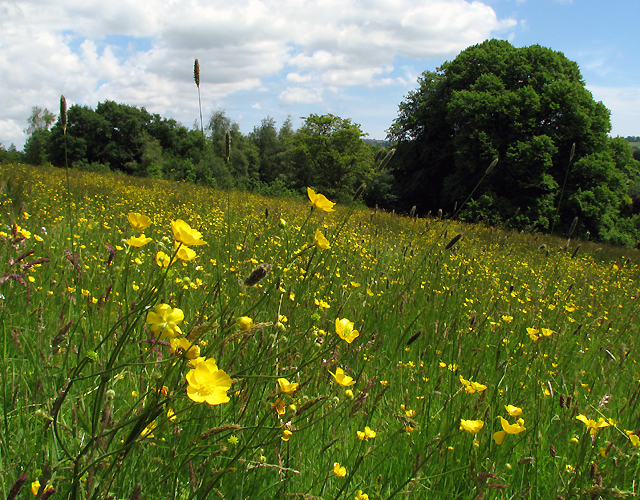 File:Wildflower meadow, Barnett Demesne - geograph.org.uk - 1344636.jpg