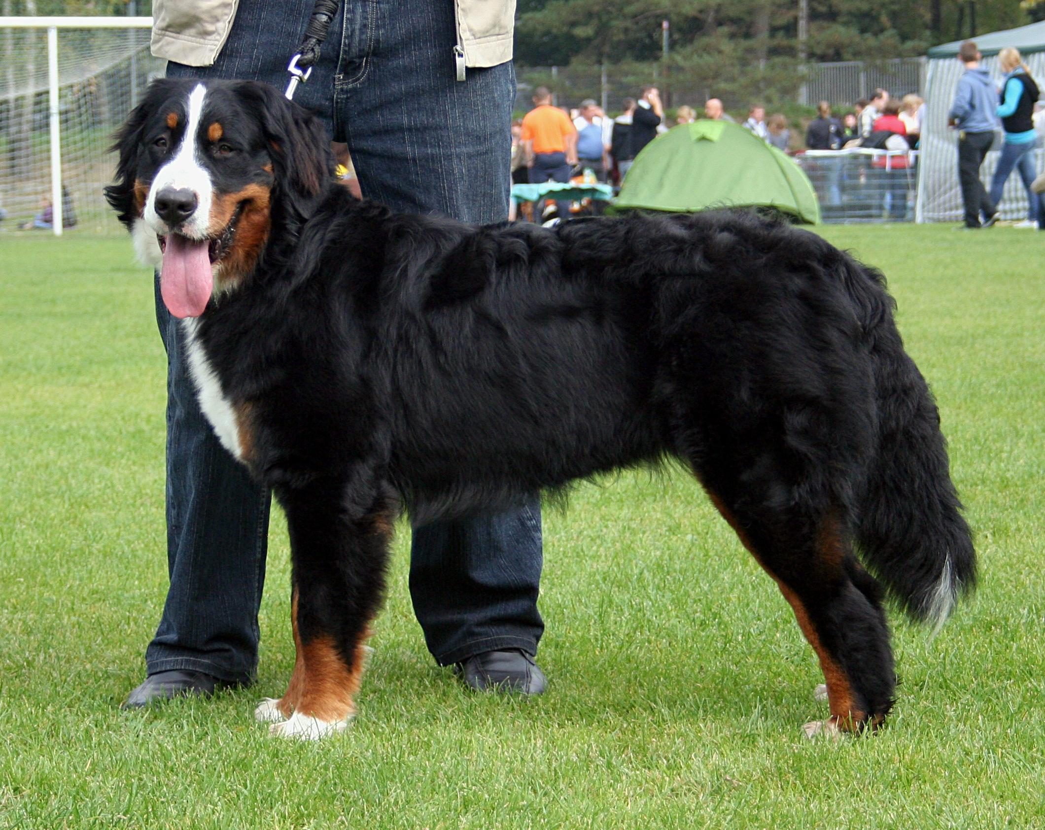 Tidsmæssigt Berner Sennenhund - Wikipedia, den frie encyklopædi UZ-81