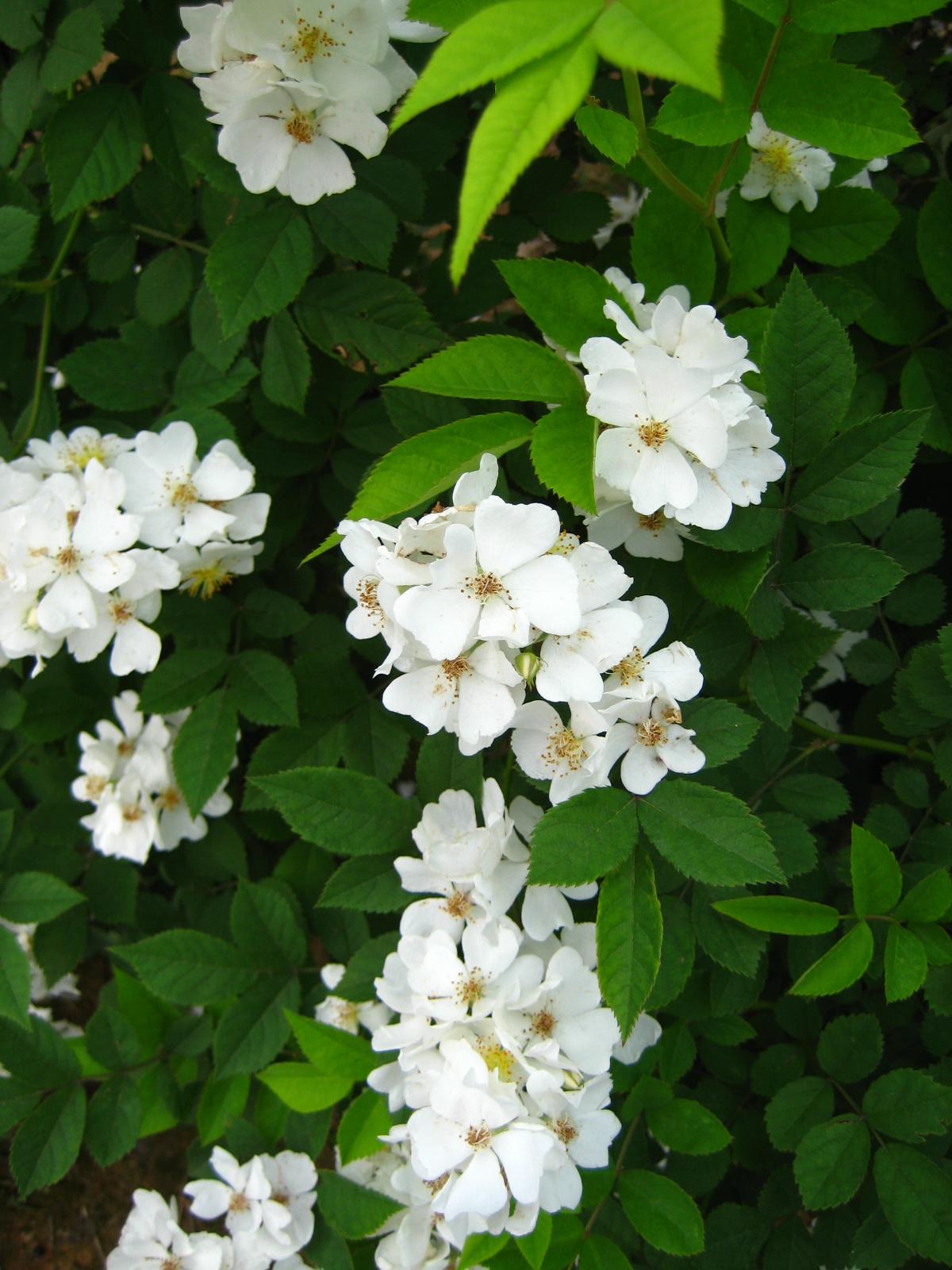 Multiflora Rose Wiktionary