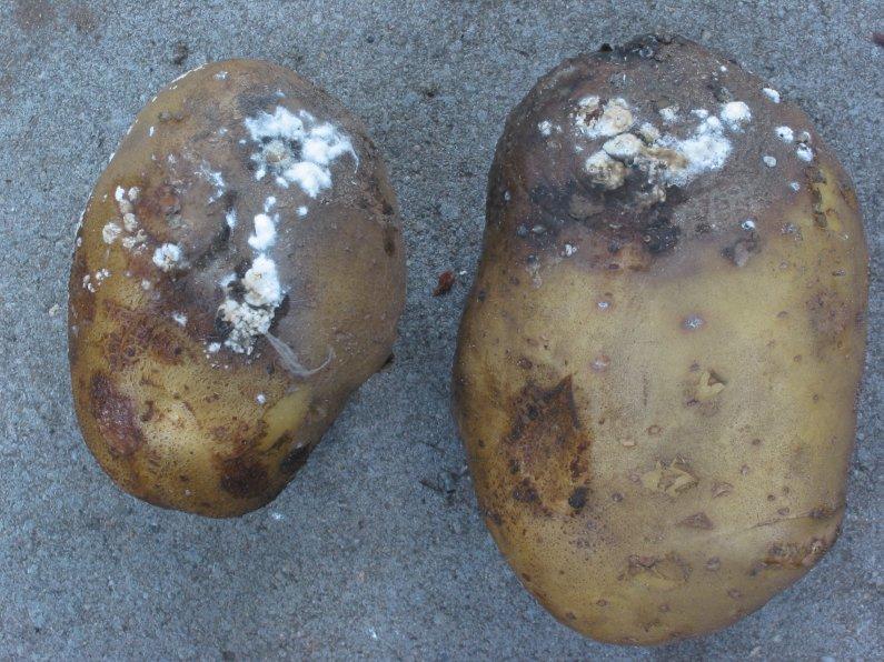 Molang Podgy pomme de terre Lapin Boîte De Mignon KAWAII Kitsch stickers