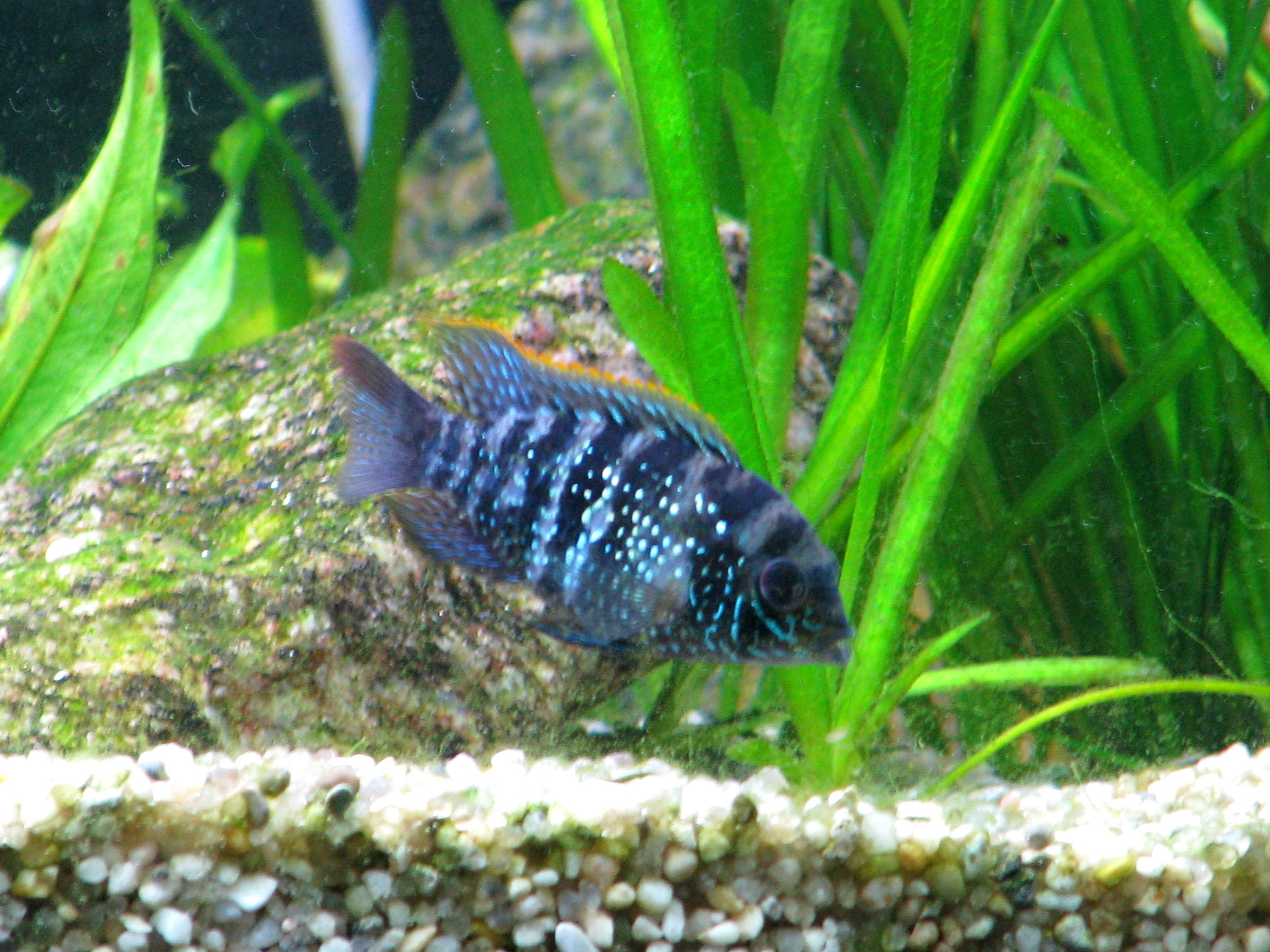 TropheusSpecies additionally E dempsey also 7 furthermore Cheap Ccichlid Fish Breeders In Pune likewise Electric Blue Acara. on electric blue acara size