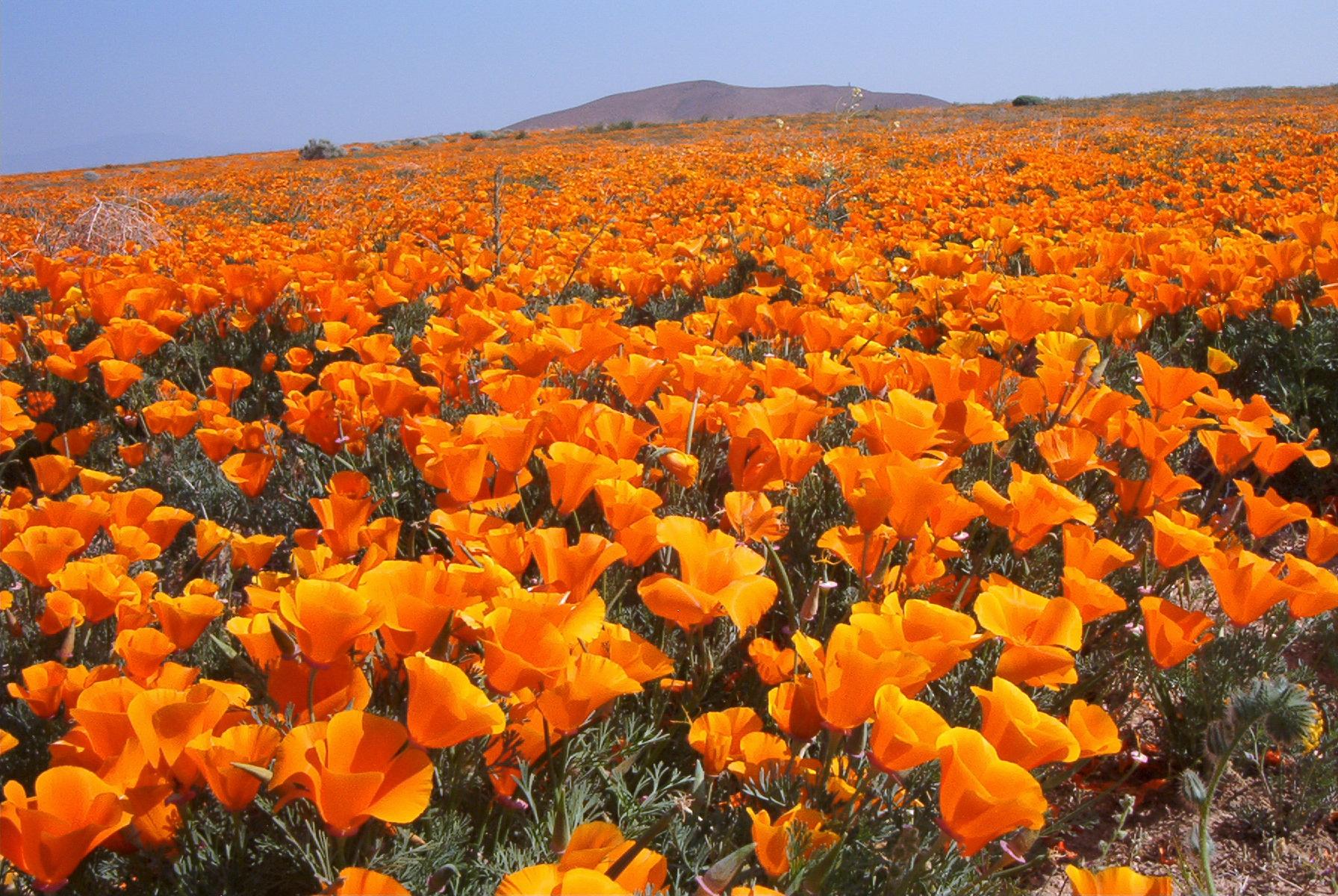 Antelope Valley Poppy Reserve에 대한 이미지 검색결과